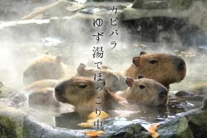 大人気伊豆シャボテン公園のカピバラゆず湯でほっこり動画