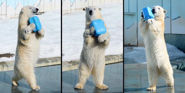 2足歩行するホッキョクグマ「ミルク」の可愛さに放心状態の人続出!